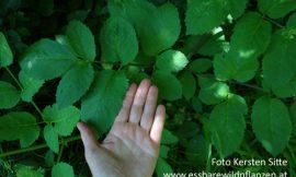 Wildpflanzen im Wald – Rätsel – 2