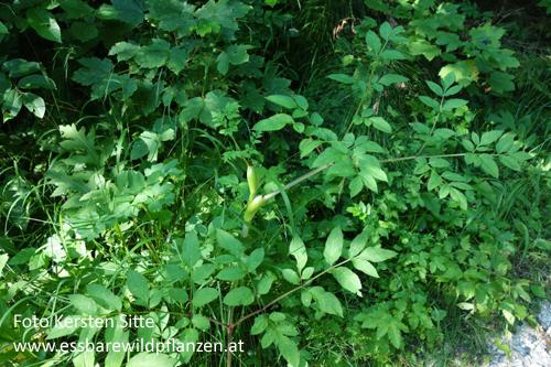 Wald-Engelwurz 23.07.2020 - 2 © Kersten Sitte, www.essbarewildpflanzen.at