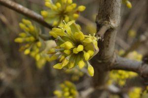 Gelbe Blüten des Dirndlstrauches (Kornelkirsche)