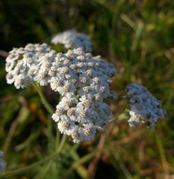 Heilkraft 250 x 256 px © Kersten Sitte, www.essbarewildpflanzen.at