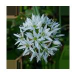 Bärlauch-Blütenfarbe-Kreis 150 x 150 px © Kersten Sitte, www.essbarewildpflanzen.at