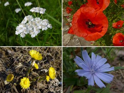 Blüten © Kersten Sitte, www.essbarewildpflanzen.at