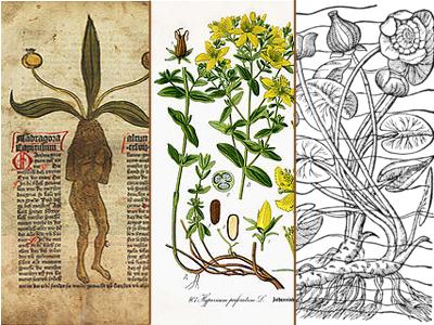 Geschichte © Kersten Sitte, www.essbarewildpflanzen.at