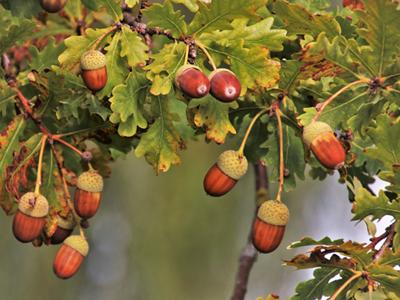 Kaffeeersatz © Kersten Sitte, www.essbarewildpflanzen.at