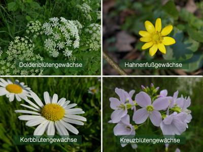 Pflanzenfamilien © Kersten Sitte, www.essbarewildpflanzen.at