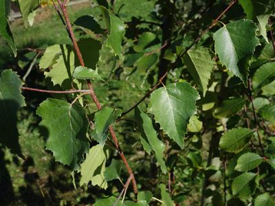 Spross © Kersten Sitte, www.essbarewildpflanzen.at