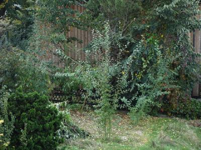 Wuchsform © Kersten Sitte, www.essbarewildpflanzen.at