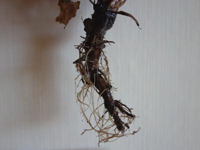 Wurzel, Foto Löwenzahn © Kersten Sitte, www.essbarewildpflanzen.at