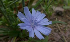 Wildpflanze Wegwarte – Kulturpflanzen